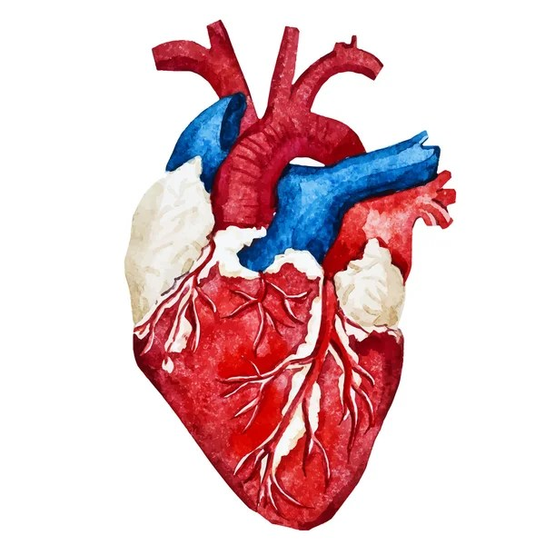 Áˆ Human Heart Drawing Stock Pictures Royalty Free Human Heart Drawing Simple Drawings Download On Depositphotos