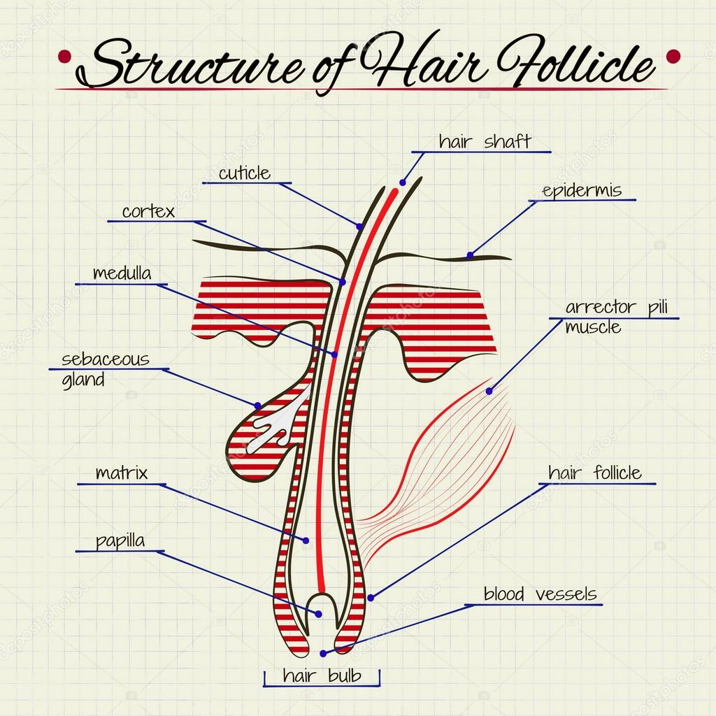 The Structure Of Human Hair