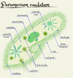 the structure of paramecium saudatum stock vector [ 1024 x 1024 Pixel ]