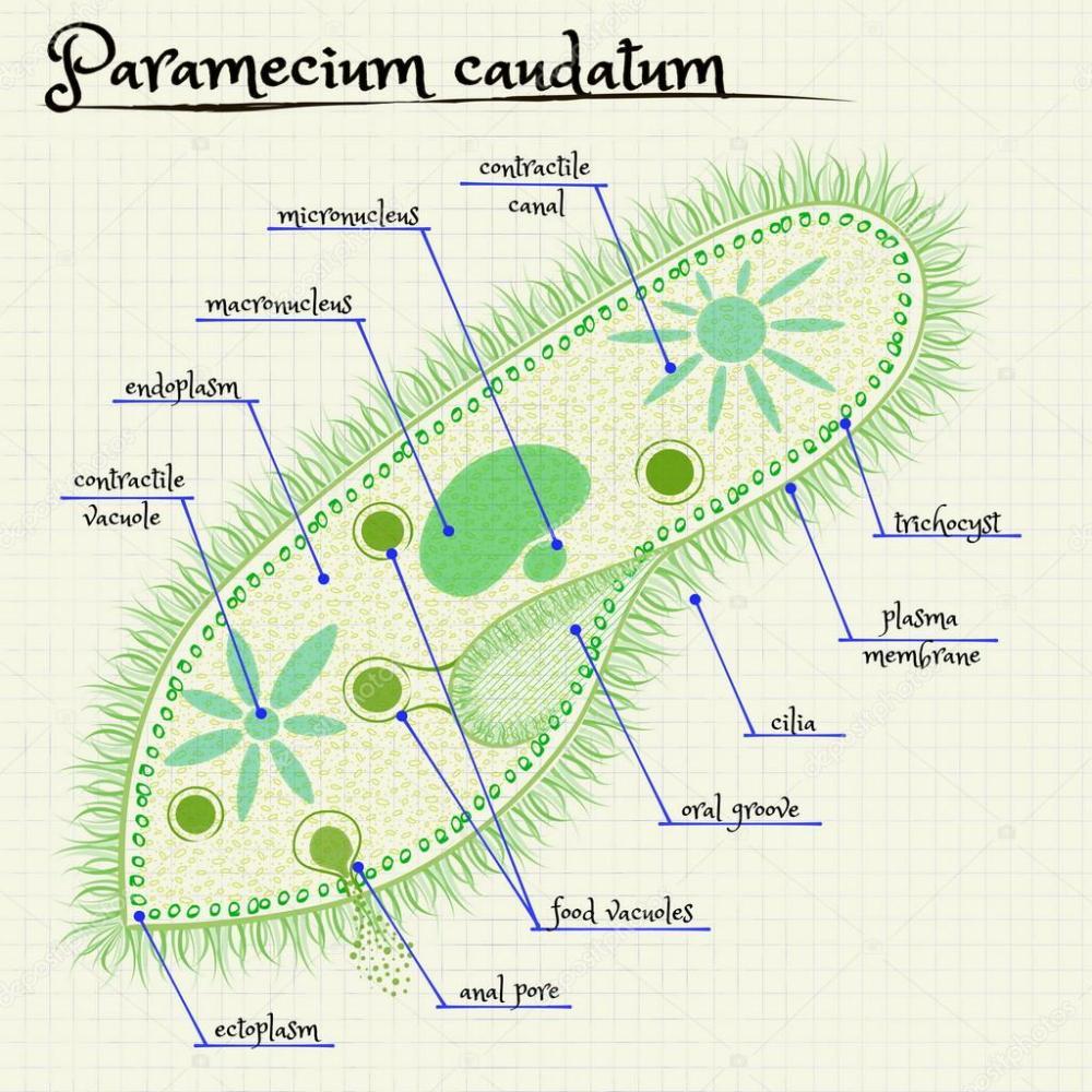 medium resolution of the structure of paramecium saudatum stock vector