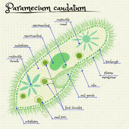 small resolution of the structure of paramecium saudatum stock vector