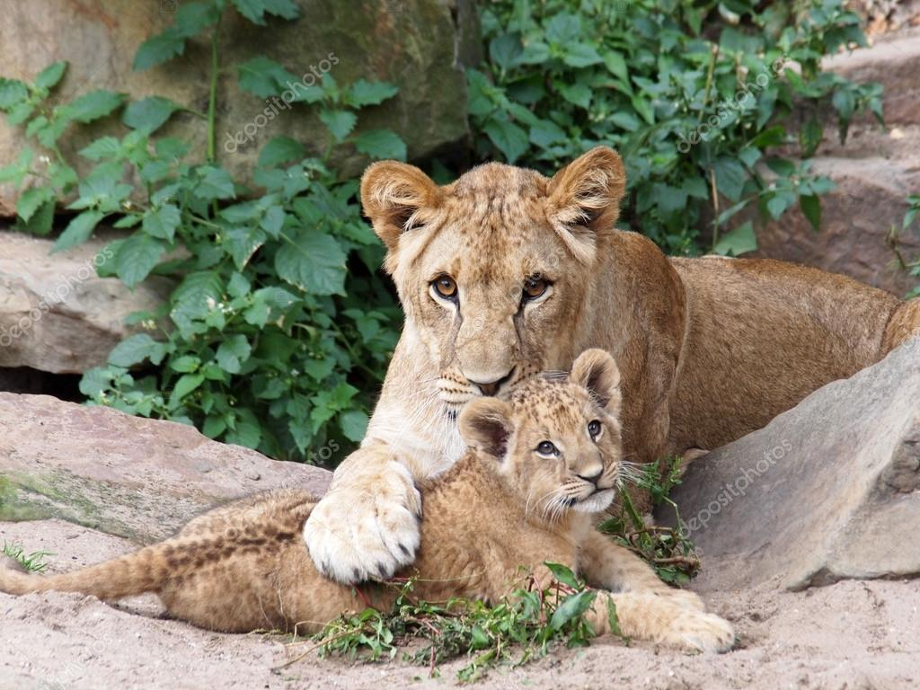 Lions Lying On Ground
