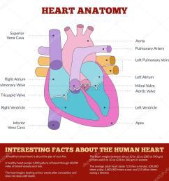 diagram of human heart anatomy archivo im genes vectoriales [ 1024 x 1024 Pixel ]