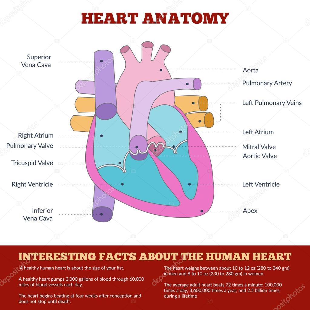 hight resolution of diagram of human heart anatomy archivo im genes vectoriales