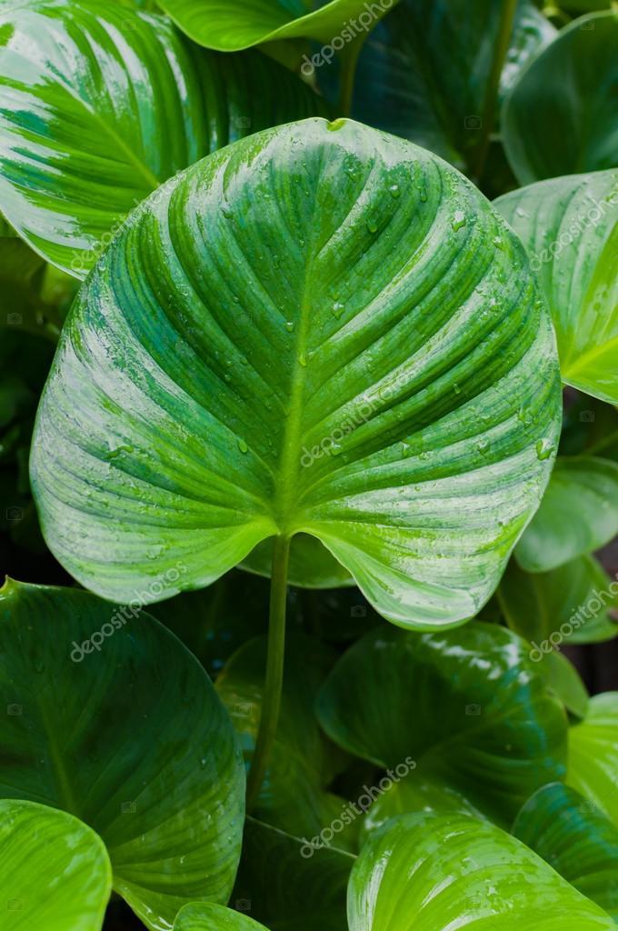 Planta grandes hojas verdes  Grandes hojas verdes de una