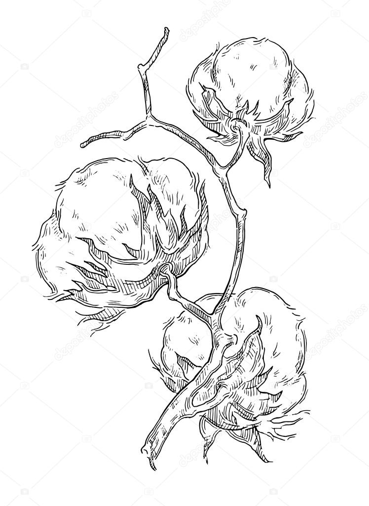 Hand made vector sketch of cotton plants. — Stock Vector