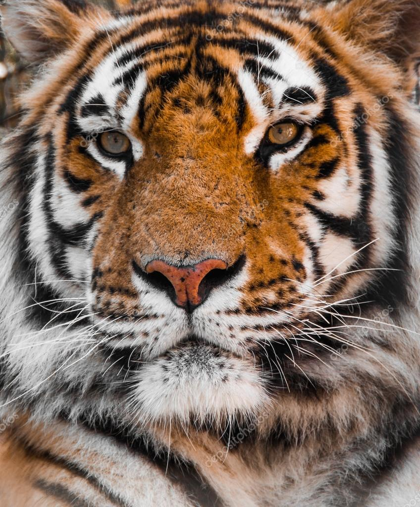 tiger tigers face stock