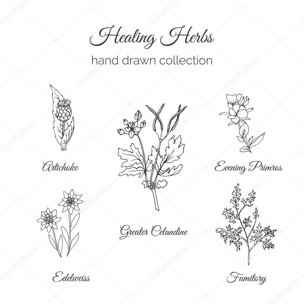 Holistic Medicine. Healing Herbs Illustration. Artichoke