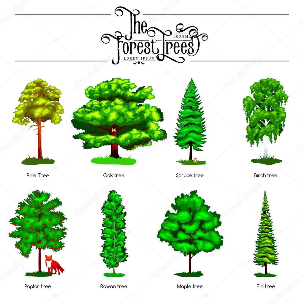 Poplar Oak Tree