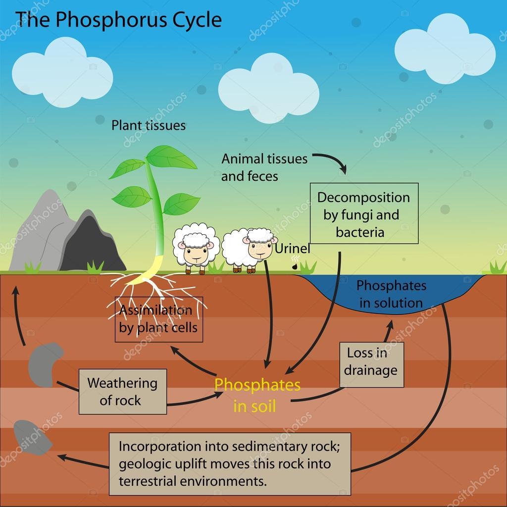 Het Fosfor Cyclus Vector Design