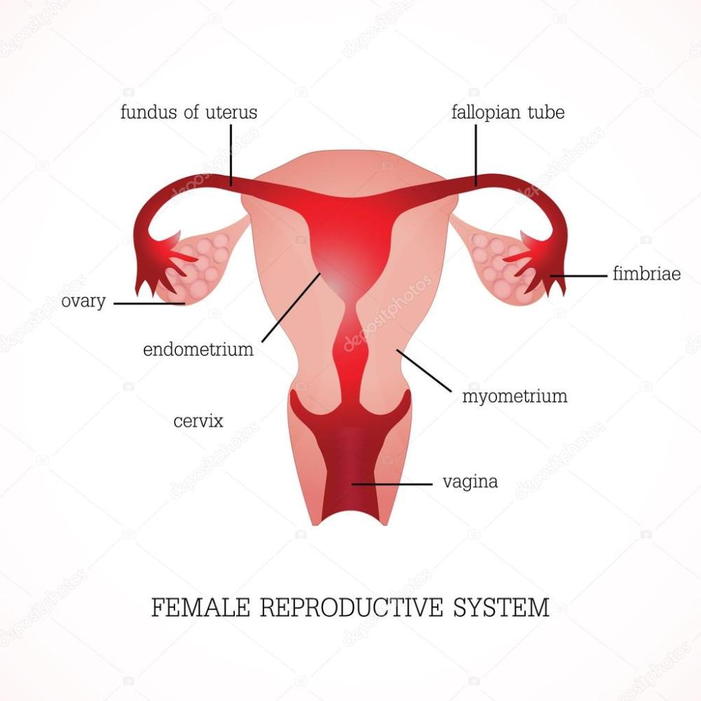 medium resolution of structure and function of human female reproductive anatomy system isolated on background human anatomy education vector illustration vector by poemsuk