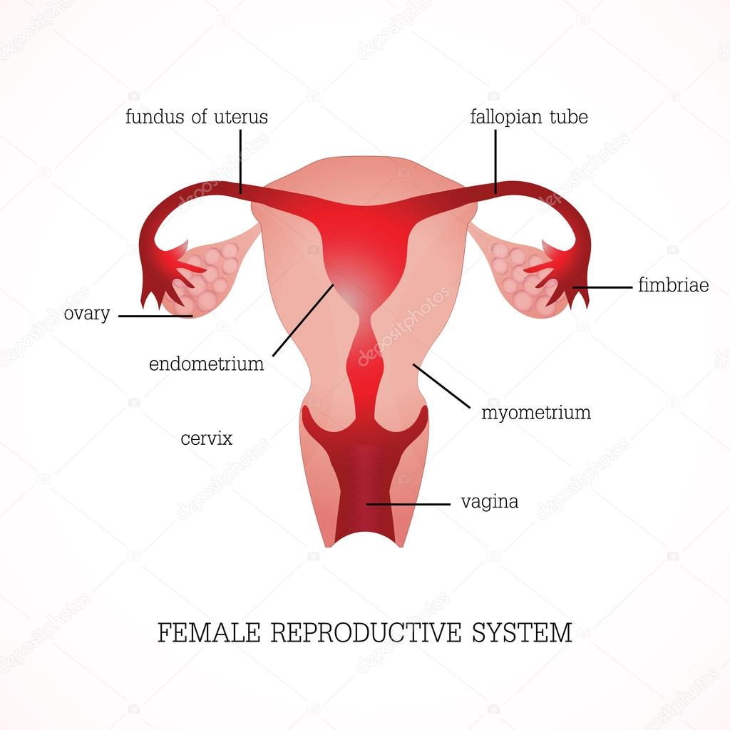 hight resolution of structure and function of human female reproductive anatomy system isolated on background human anatomy education vector illustration vector by poemsuk