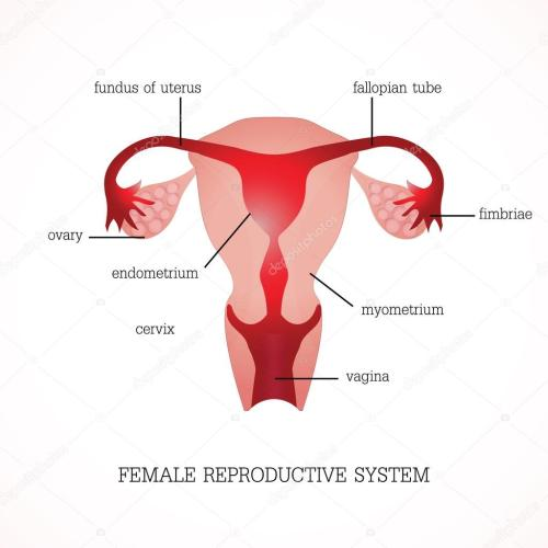 small resolution of structure and function of human female reproductive anatomy system isolated on background human anatomy education vector illustration vector by poemsuk
