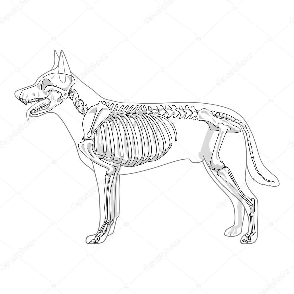 Ilustracion De Vector De Veterinaria Esqueleto De Perro