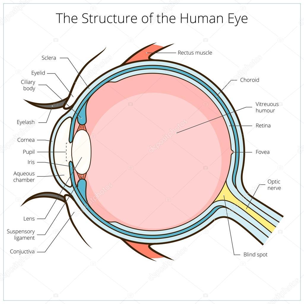 human eye diagram blind spot three circle venn worksheet imágenes esquema de la estructura del ojo humano vector