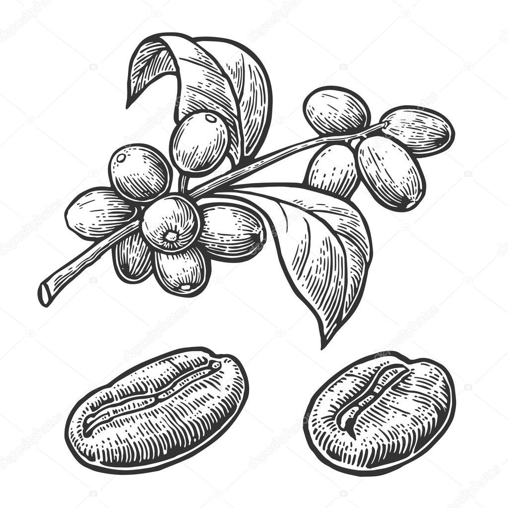 coffee bean leaf