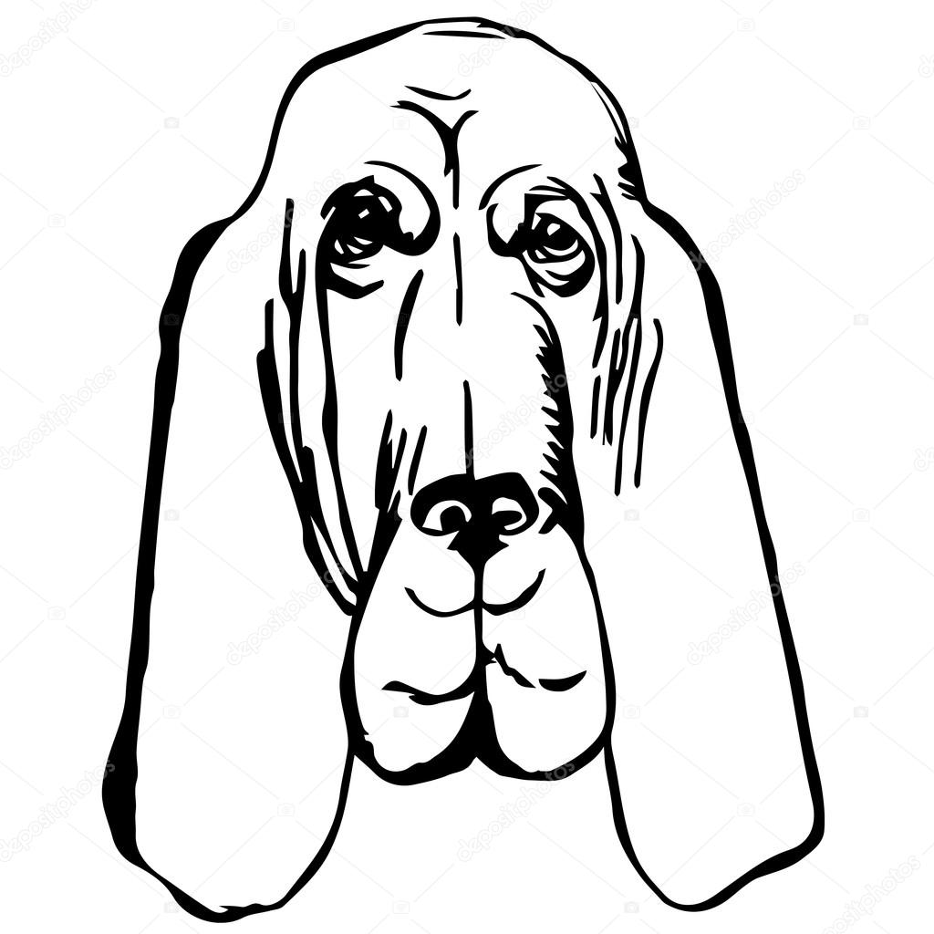 Graphic Vector Illustration Of Bloodhound Dog Isolated