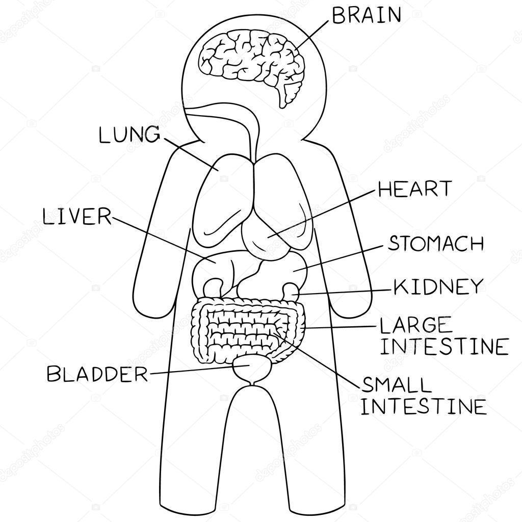 Vector Set Of Internal Organs
