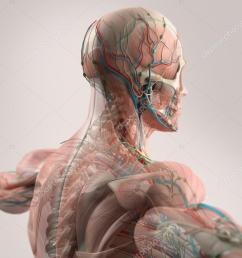 human anatomy showing face head shoulders and back muscular system bone structure and [ 1024 x 768 Pixel ]