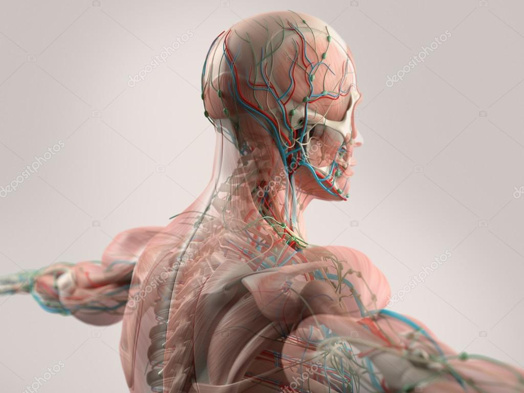 hight resolution of human anatomy showing face head shoulders and back muscular system bone structure and
