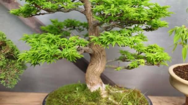 bonsai maple tree with