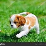 Cavalier King Charles Spaniel Puppy In Garden Stock Photo C Foto Front 153283948