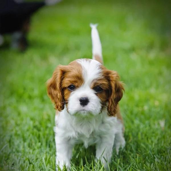 Cavalier King Charles spaniel puppy in garden — Stock Photo © Foto-front #153284304