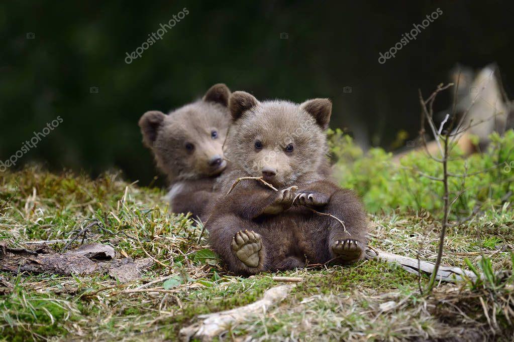 棕色的熊崽 — 圖庫照片©VolodymyrBur#169109004