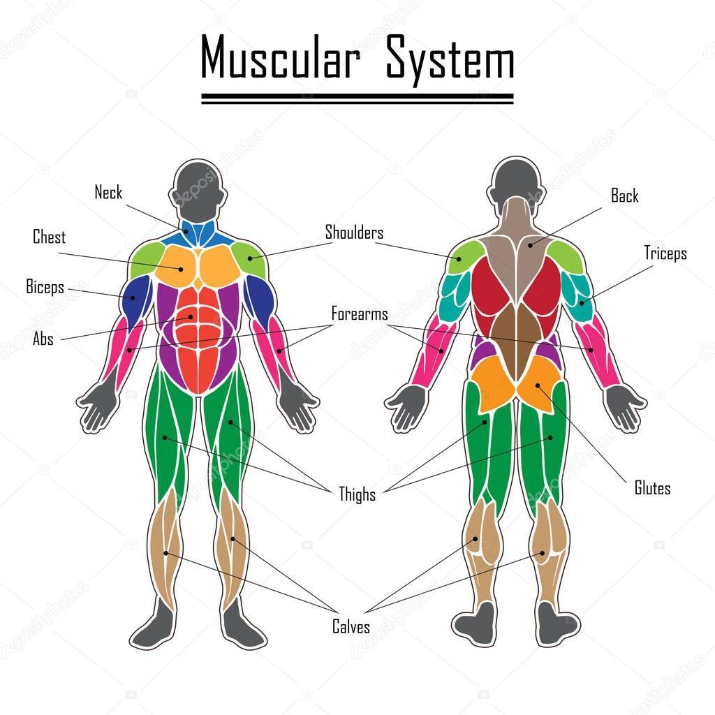 Dibujos Sistema Muscular Dibujo