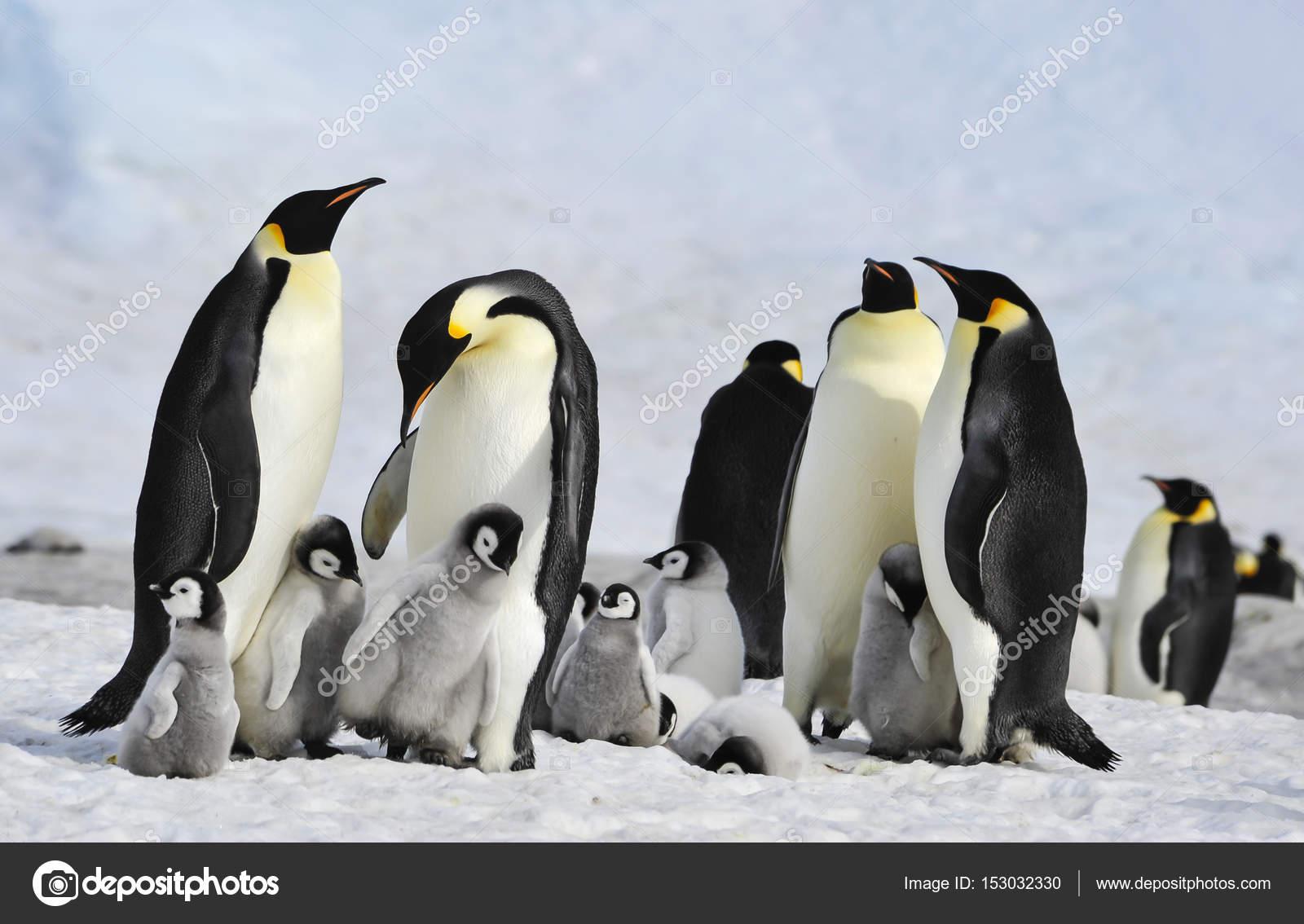 皇帝企鵝_企鵝_帝企鵝_企鵝qq - www.bolingtuan.com
