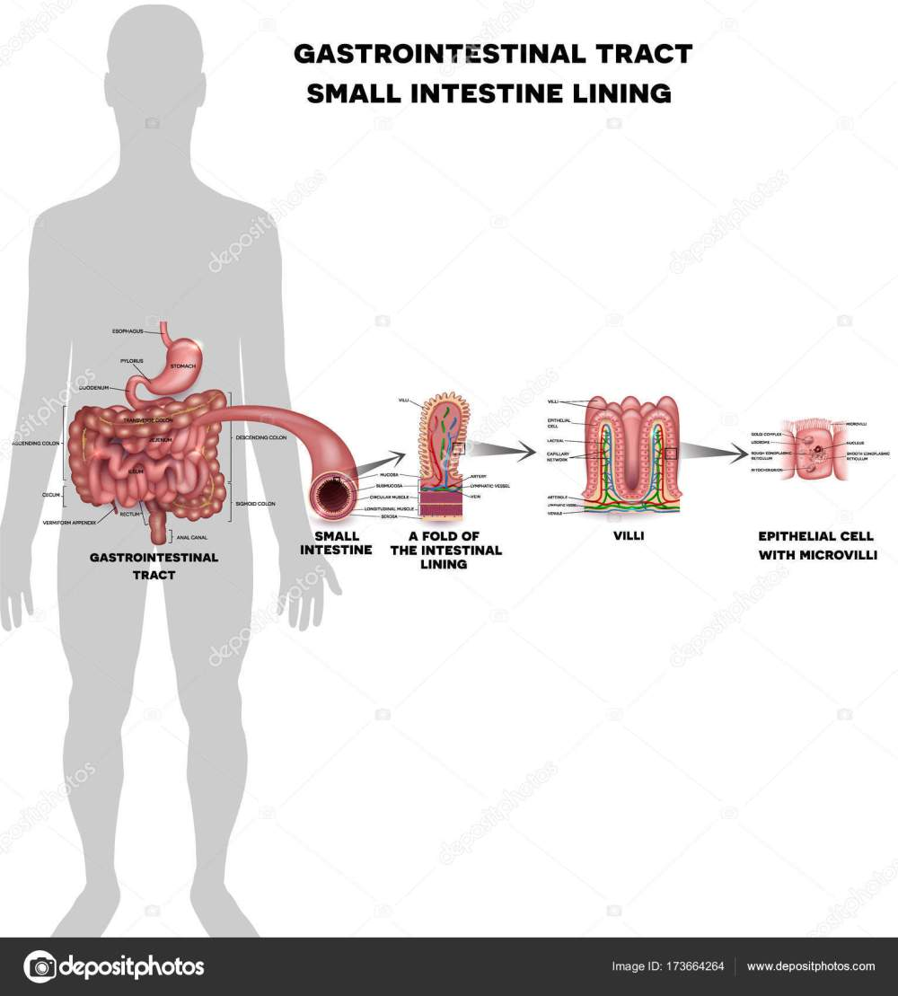 medium resolution of small intestine lining anatomy a fold of the intestinal lining villi and epithelial cell with microvilli detailed illustrations vector by megija