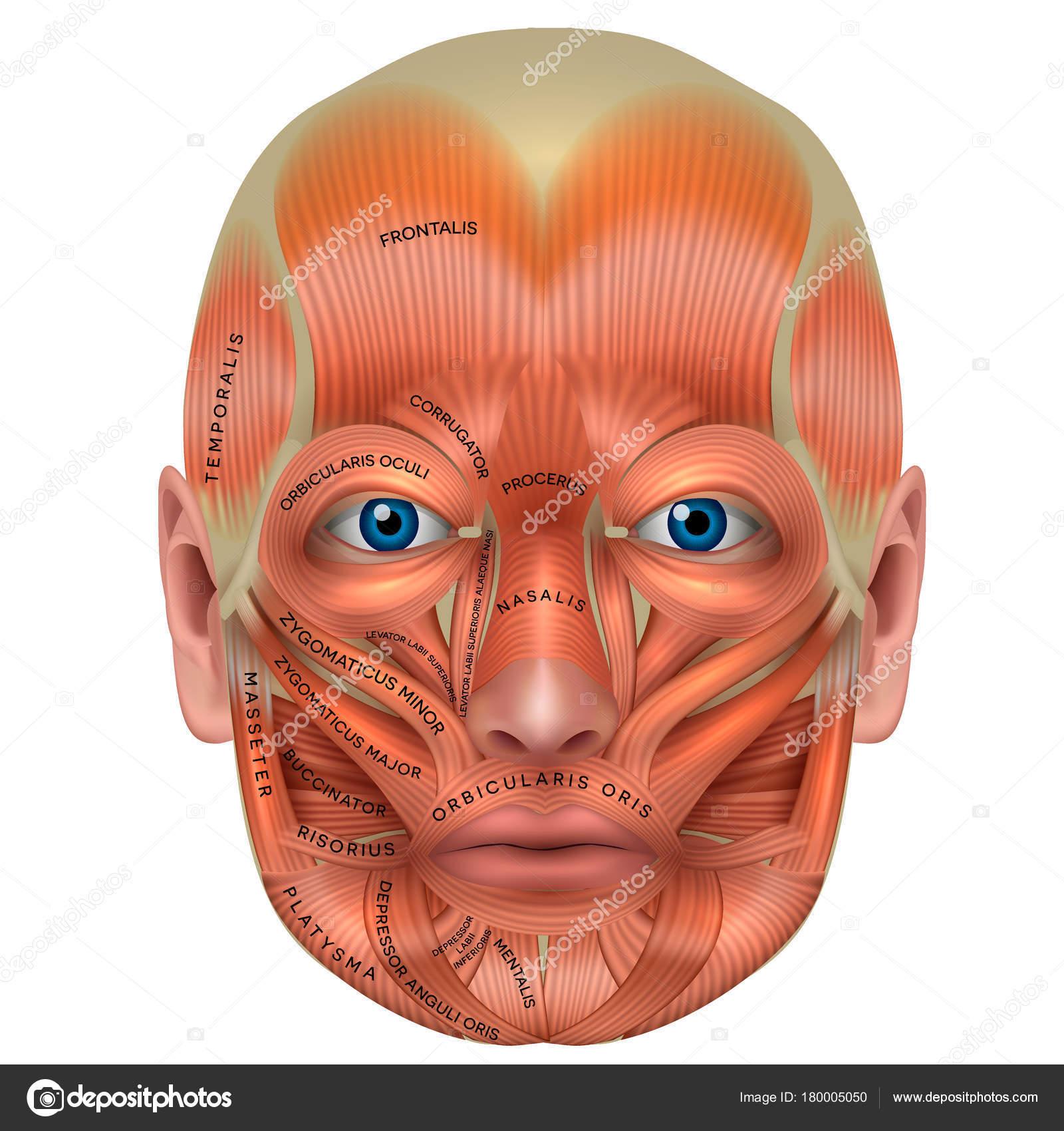 face muscles diagram 94 toyota corolla radio wiring os músculos da detalhada brilhante anatomia isolada no branco — vetores de stock © megija ...