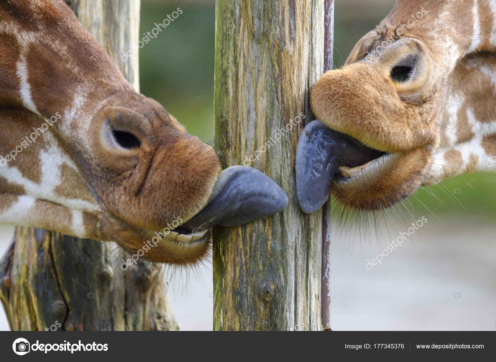 tongues of giraffe licking