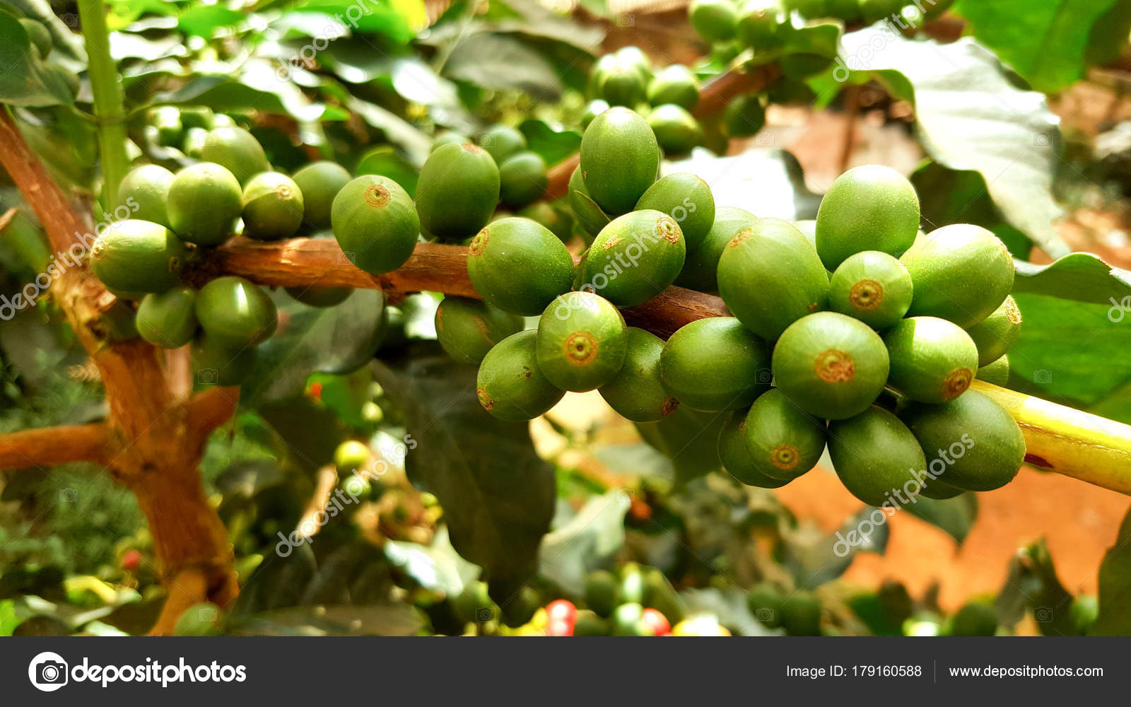 Young Coffee Beans Cafe Plantation Arabica Coffee Bean Plant North Stock Photo C Amnuay9001 Gmail Com 179160588