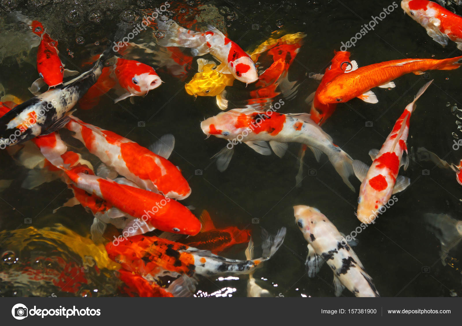 feeding koi fish with