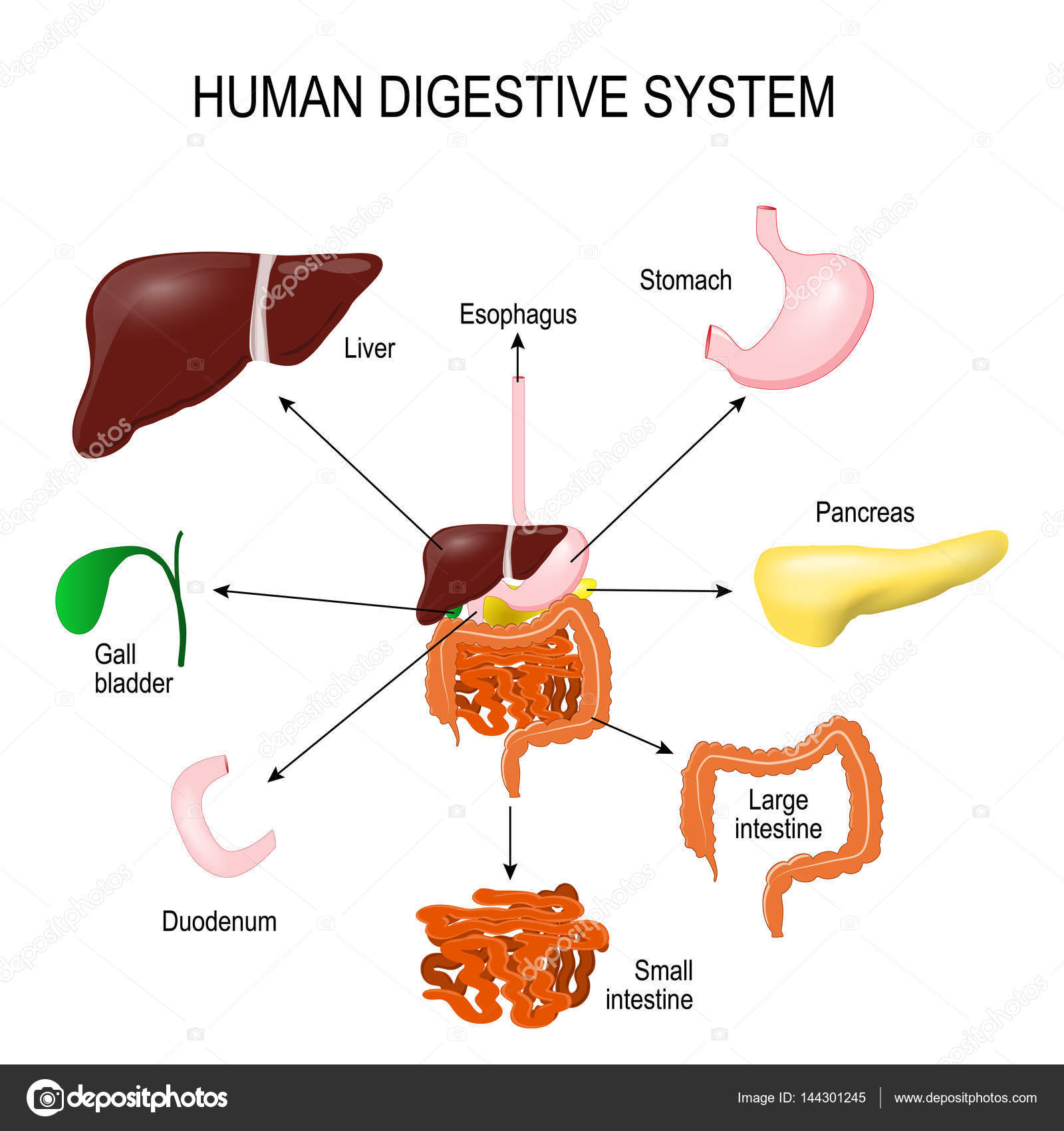 Human Digestive System Diagram Without Labels News Word