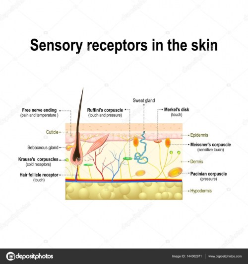 small resolution of human sensory system in the skin stock vector