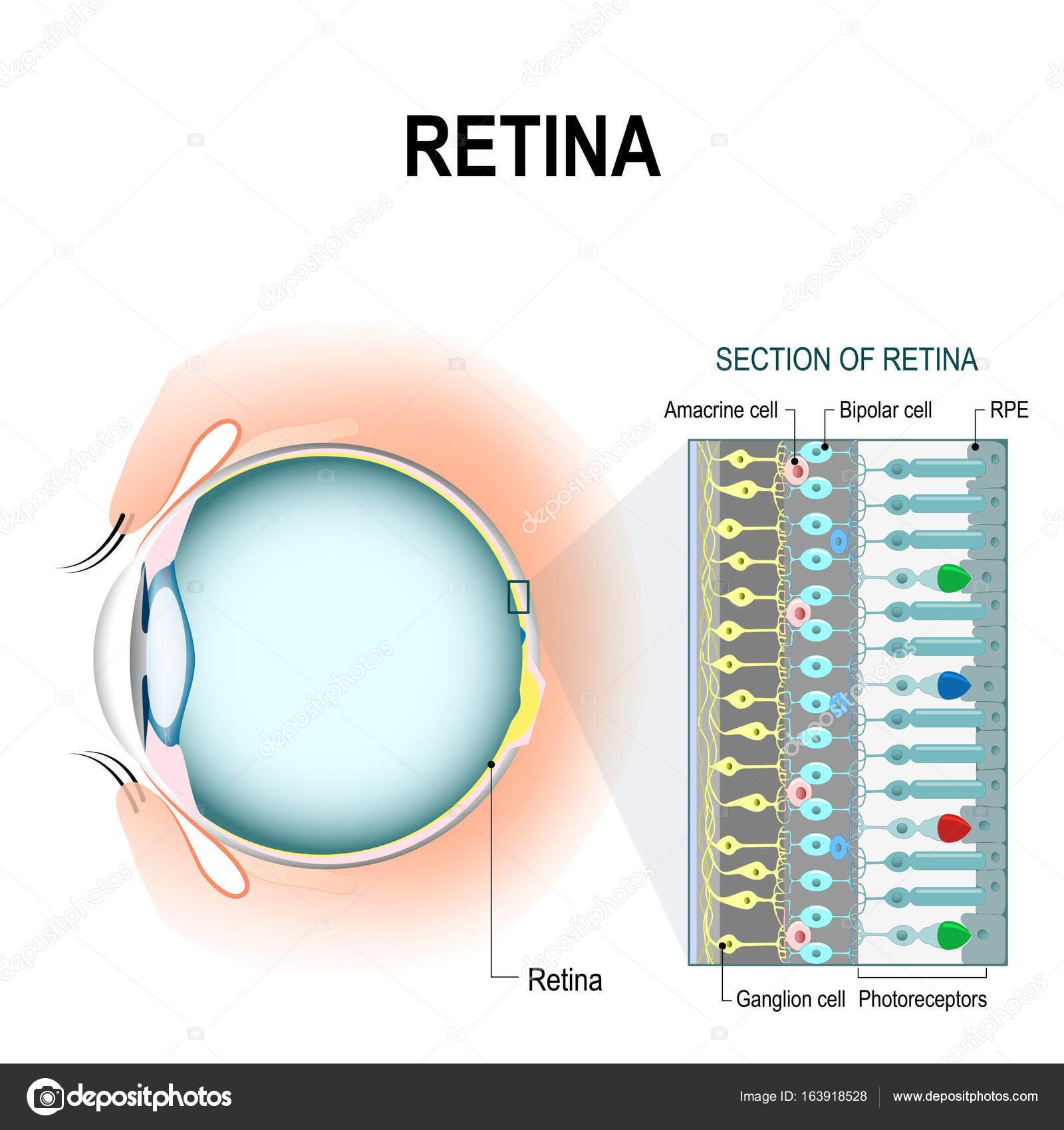 hight resolution of retinal cells rod and cone cells stock vector