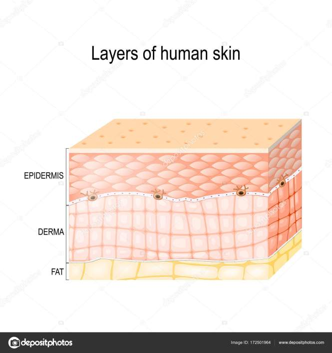Human Skin Layers Best Skin In The Word 2018