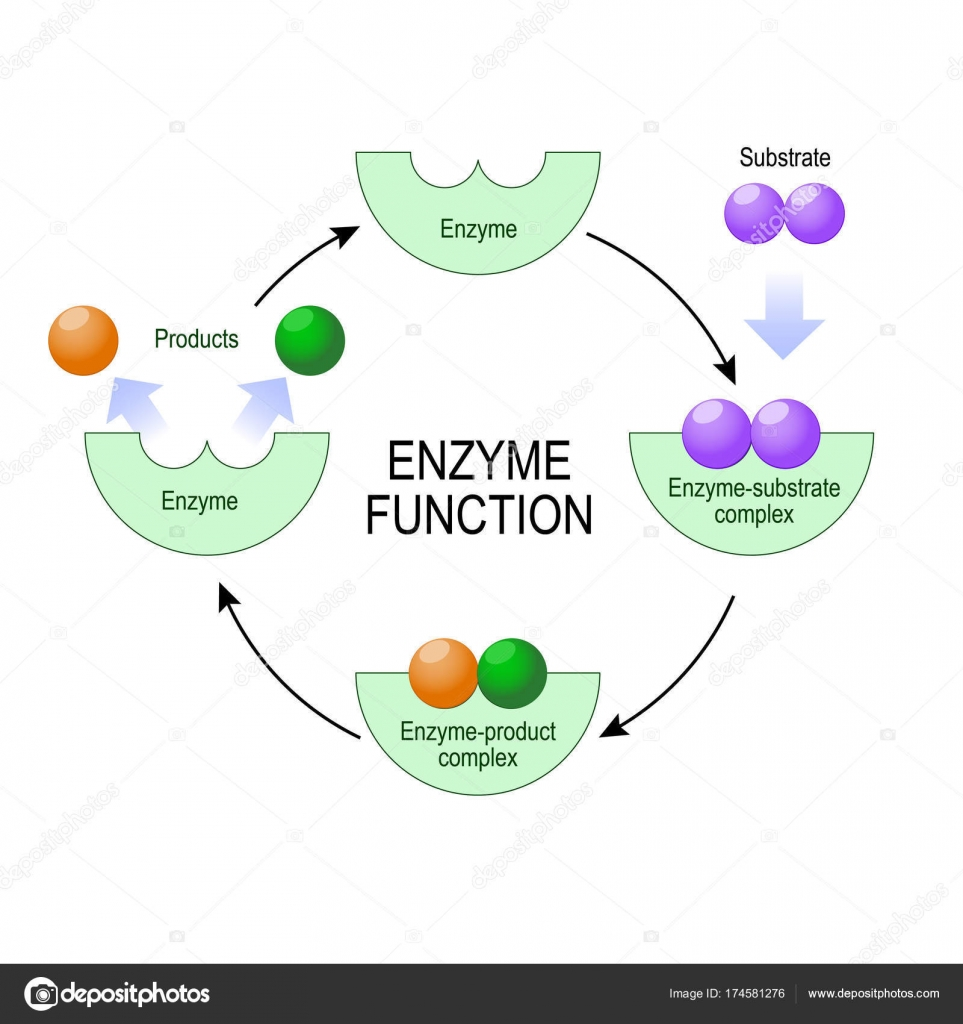 hight resolution of enzyme function vector diagram for medical educational and scientific use stock vector