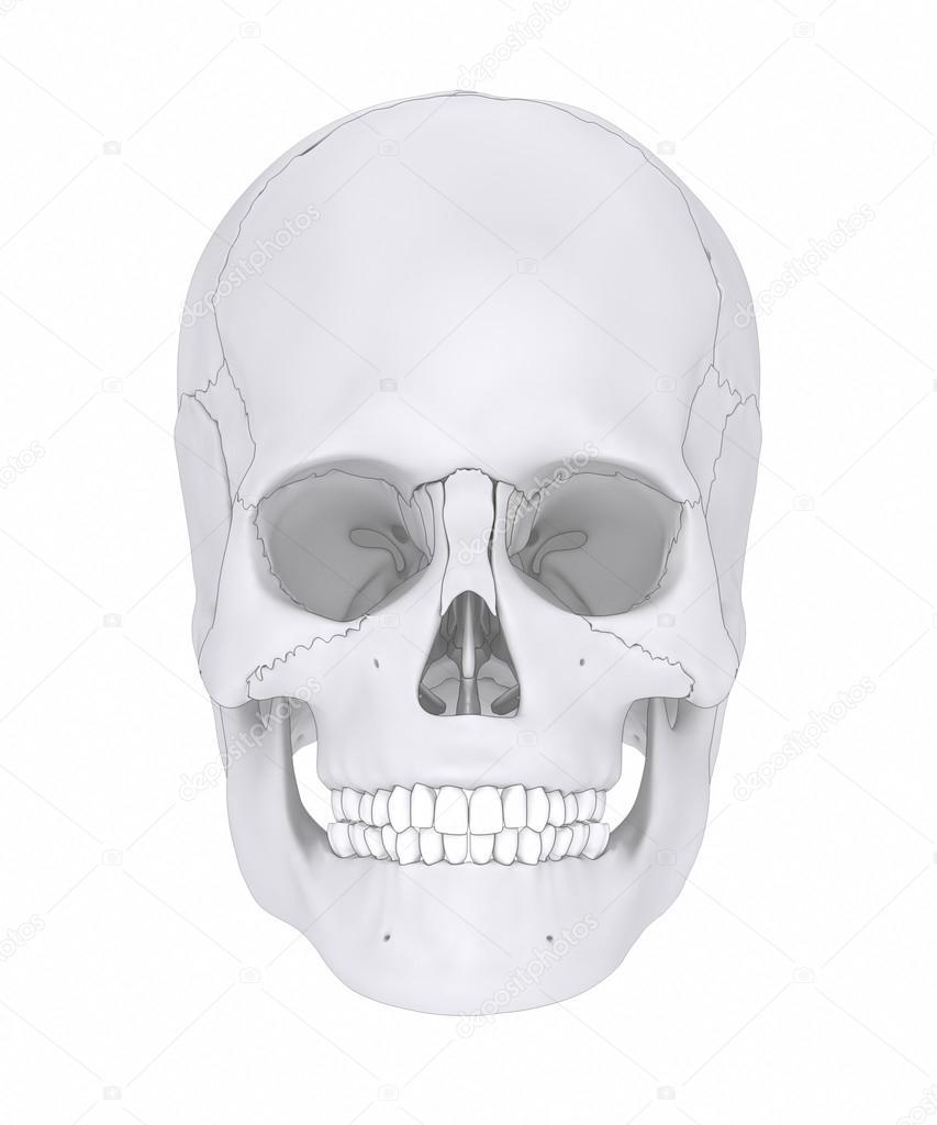 medium resolution of human skull bones anatomy parts diagram photo by cliparea