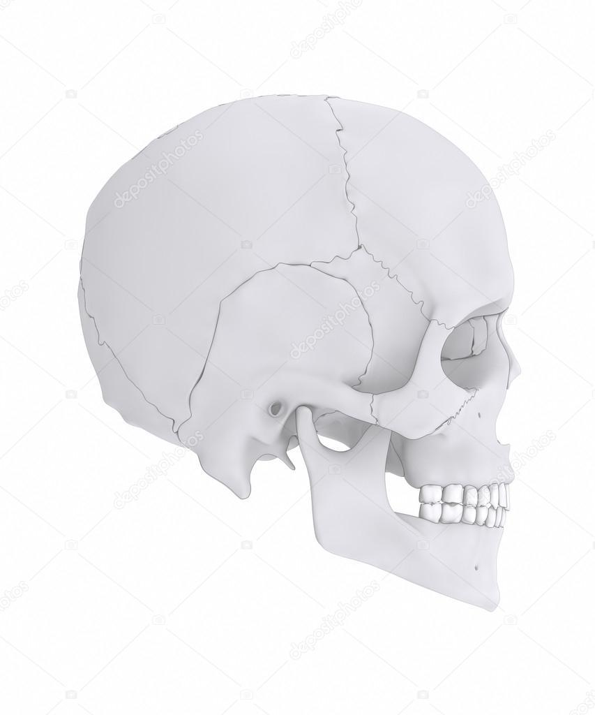 medium resolution of human skull bones anatomy parts diagram photo by