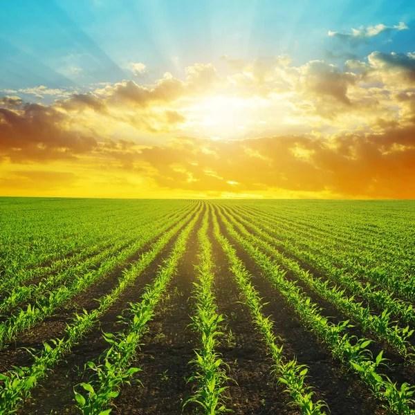 corn field in sunset - maize