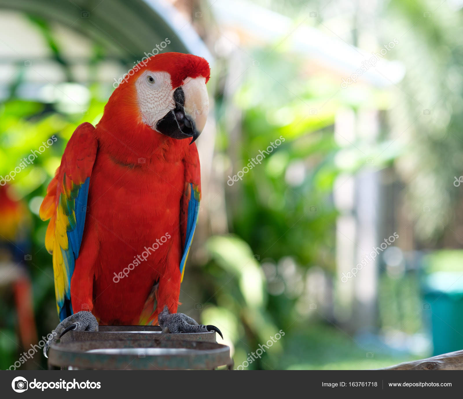 scarlet macaw stand on