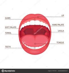 vector illustration anatomy human open mouth medical diagram stock vector [ 1600 x 1700 Pixel ]