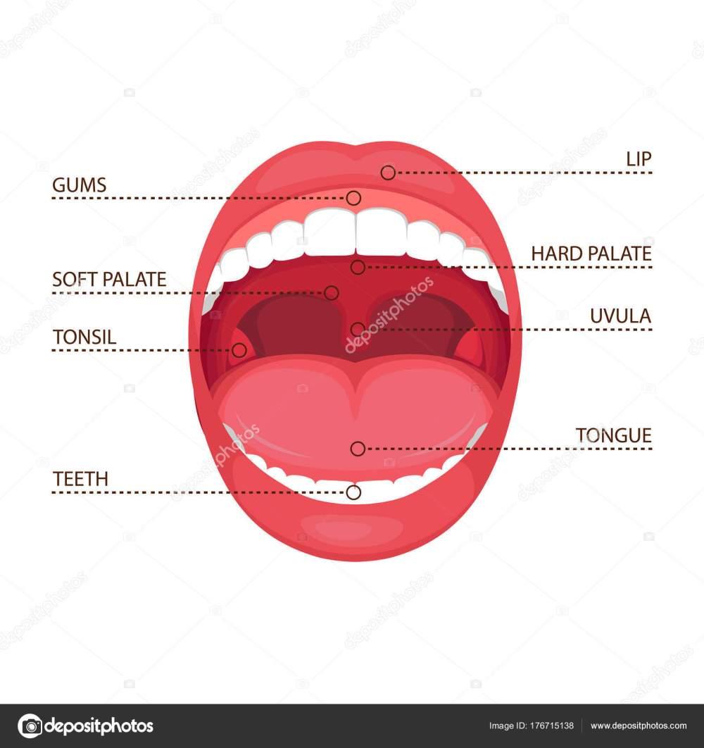 medium resolution of vector illustration anatomy human open mouth medical diagram stock vector