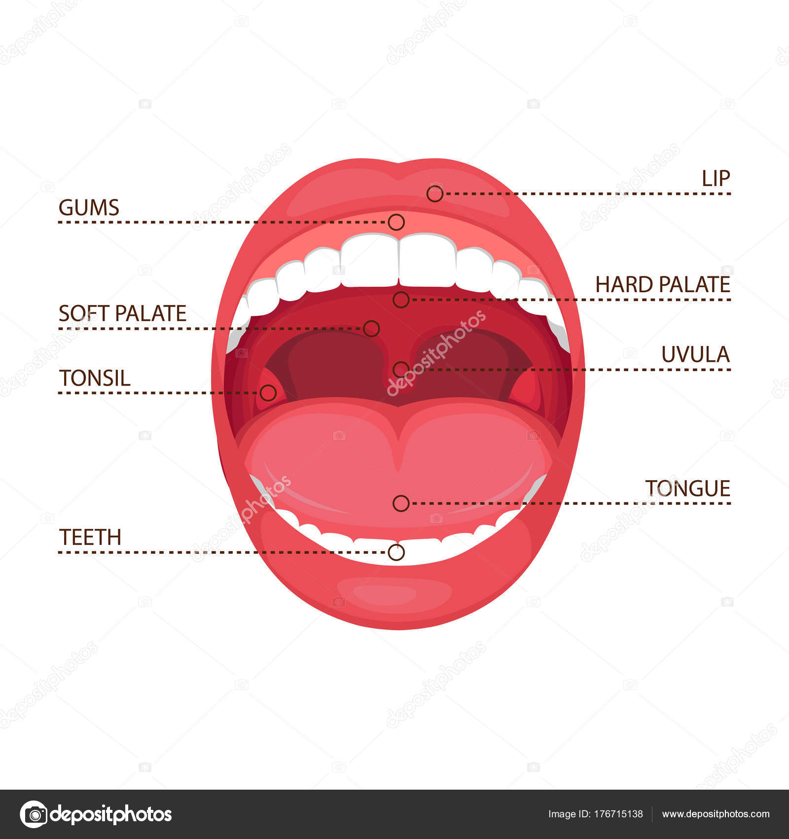 hight resolution of vector illustration anatomy human open mouth medical diagram stock vector