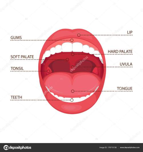 small resolution of vector illustration anatomy human open mouth medical diagram stock vector