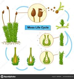 diagram showing moss life cycle illustration vector by interactimages [ 991 x 1024 Pixel ]