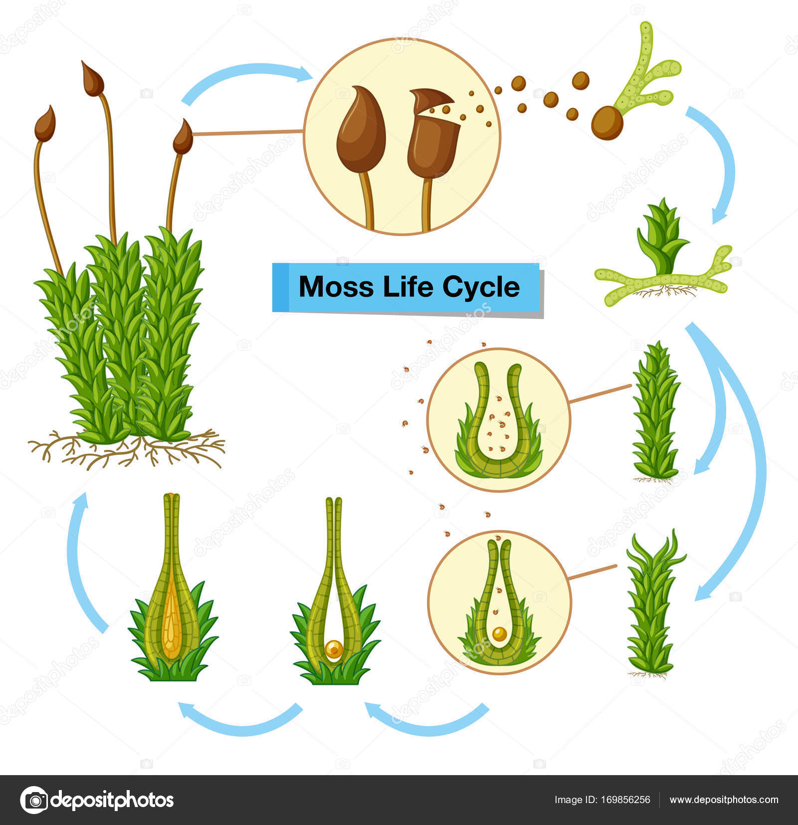 hight resolution of diagram showing moss life cycle illustration vector by interactimages